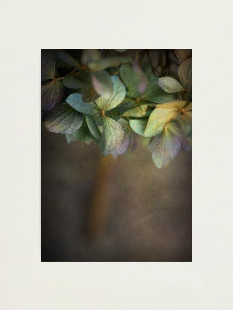 Alternate view of Hydrangea  Photographic Print