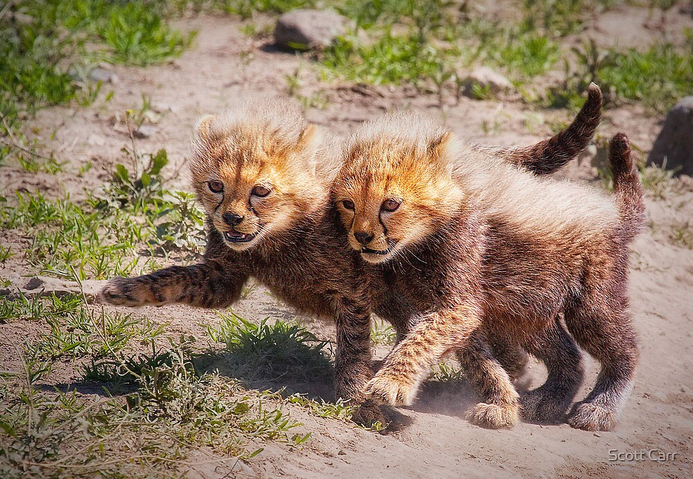Cheetah Cubs by Scott Carr