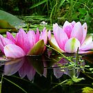 Waterlily Reflections by ienemien