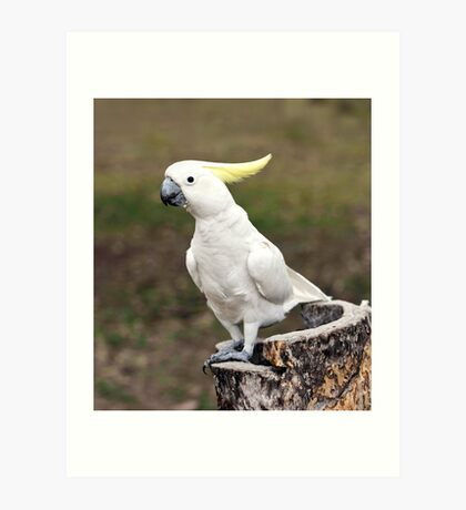 Hello Cocky - Cockatoo at Granite Gorge Art Print