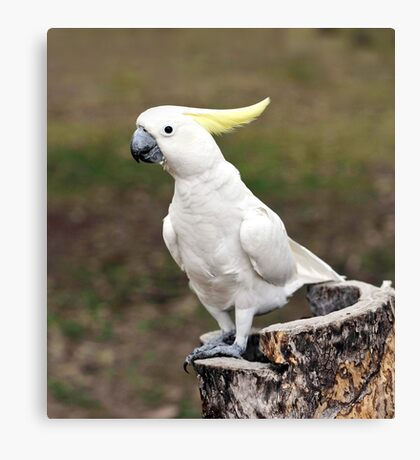 Hello Cocky - Cockatoo at Granite Gorge Canvas Print