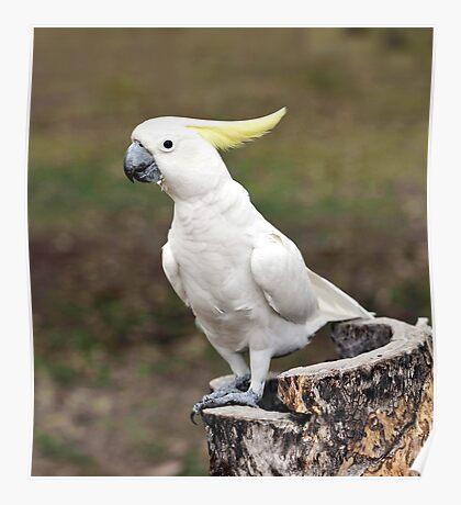 Hello Cocky - Cockatoo at Granite Gorge Poster
