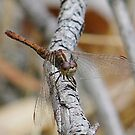 Dragonfly's Rest by Rick Playle