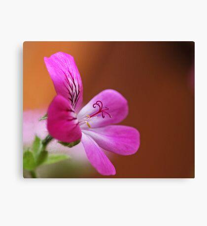 rose geranium Canvas Print