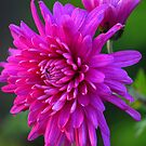 Aster by vbk70