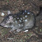 A Quoll I met..... by adbetron