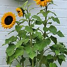 Rachel's Sunflowers by Lindamell