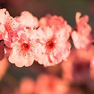 Cherry Blossom by aambience