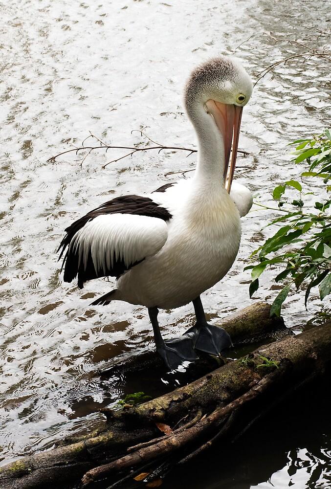 Pelican on a Perch  by Jenny Dean