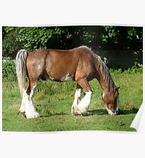 Clydesdale horse grazing on Aran Islands Poster