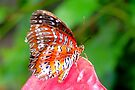Leopard Lacewing - Cethosia cyane by Lepidoptera