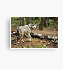 Timber Wolf - Ontario Canada Canvas Print