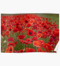 Poppies forever... Poster