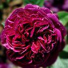 Crimson Rose by Karen  Betts