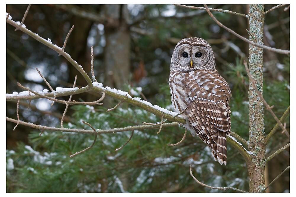 Barred Owl - Ontario Canada by Raymond J Barlow