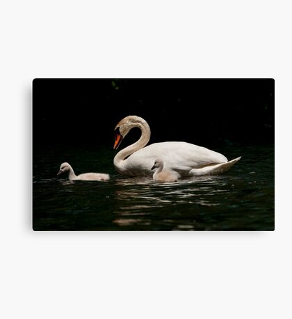 Mute Swan And Cygnet Canvas Print
