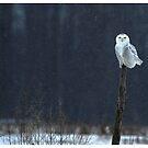 Owls in Canada! by Raymond J Barlow