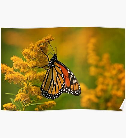 Monarch Butterfly - 23 Poster