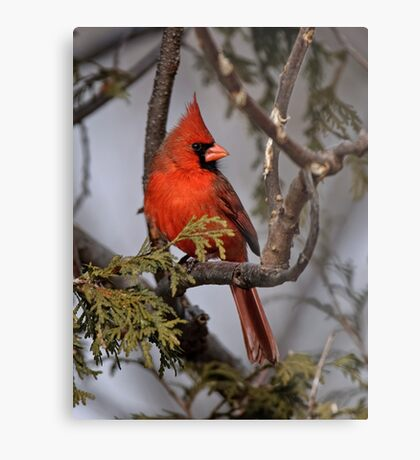 Male Northern Cardinal in Cedar Tree - Ottawa, Ontario Metal Print