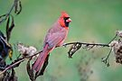 Male Northern Cardinal by Michael Cummings