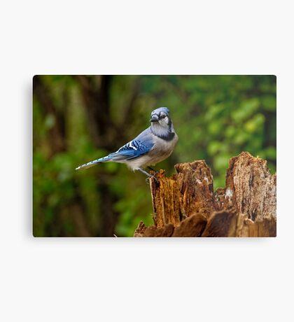 Blue Jay on Stump - Ottawa, Ontario Metal Print