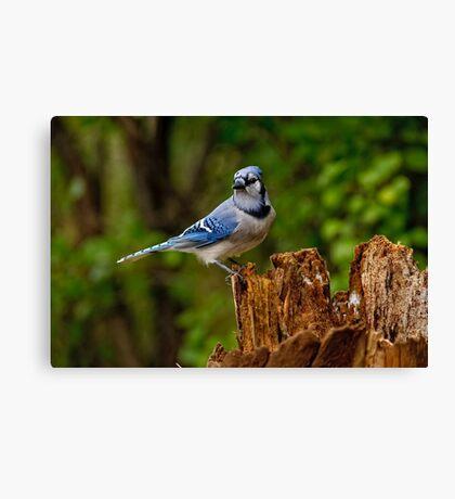 Blue Jay on Stump - Ottawa, Ontario Canvas Print