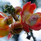 Cannonball Tree Flower Costa Rica by Ken Scarboro