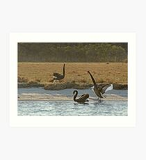 Australian Black Swans, Gippsland Lakes Art Print