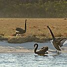 Australian Black Swans, Gippsland Lakes by randmphotos