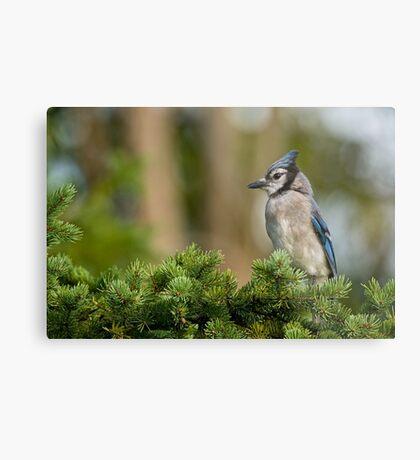 Blue Jay in Spruce Tree - Ottawa, Ontario Metal Print