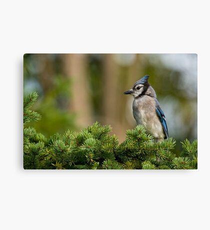 Blue Jay in Spruce Tree - Ottawa, Ontario Canvas Print
