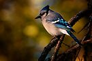 Evening Blue Jay by Michael Cummings