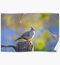 Crested Pigeon On Gate Post To The Back Paddock. Brisbane, Queensland, Australia. Poster