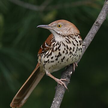 Thrasher (Brown) by JimmyD