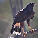 The Harris Hawk by Barbara Manis