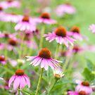 Echinacea summer by Zoe Power