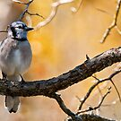 Blue Jay - Shirley's Bay, Ottawa, Ontario by Michael Cummings
