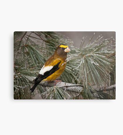 Evening Grosbeak On Pine 2 Metal Print