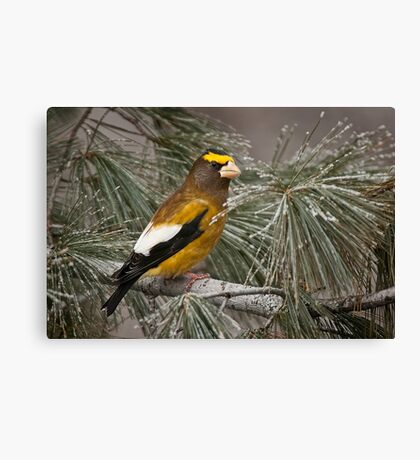Evening Grosbeak On Pine 2 Canvas Print