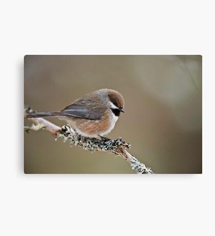 Boreal Chickadee Canvas Print
