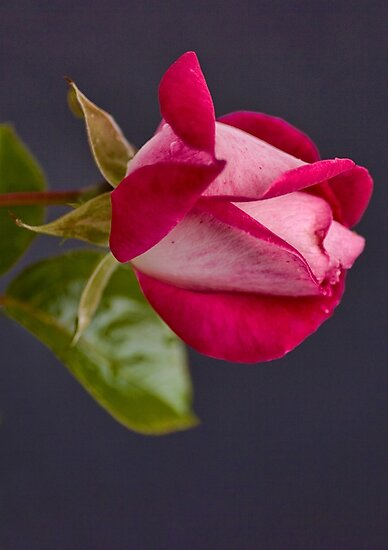 The Romance of the Rose  by DIANE  FIFIELD