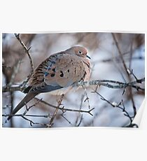 Mouring Dove In Shrubs Poster