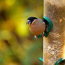 Bullfinch #1 by Phil-Edwards
