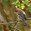 Female Chaffinch I believe by Phil-Edwards