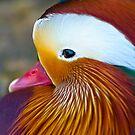 Mandarin Duck by Phil-Edwards