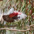 Galah in flight. by trevorb