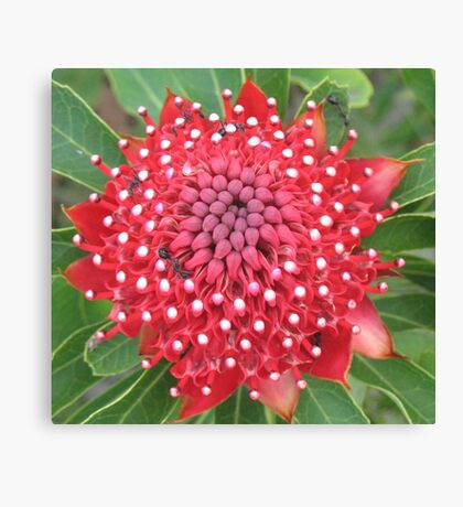 Star Waratah Canvas Print