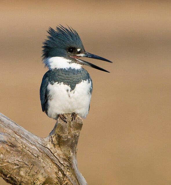 Perched Kingfisher - Stoney Creek Ontario, Canada by Raymond J Barlow