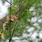 Cherries Jubilee - Squirrel in a Cherry Tree  by Timothy Accardo