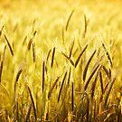 Wheat by BlaizerB